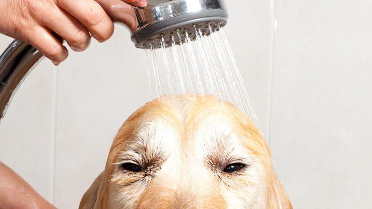 Laver le chien dans la douche